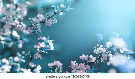 Schöner abstrakter Hintergrund des Blumenfrühlings der Natur. Zweige des blühenden Aprikosenmakros mit weichem Fokus auf sanftem hellblauem Himmelhintergrund. Für Oster- und Frühlingsgrußkarten mit Kopierraum