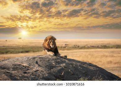 El gran león relajado en la roca en el parque natural del Serengeti