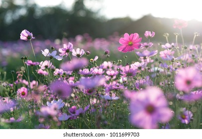Field of cosmos flower