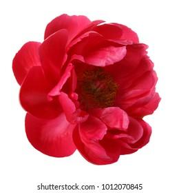 白い背景で隔離の赤い牡丹の花。