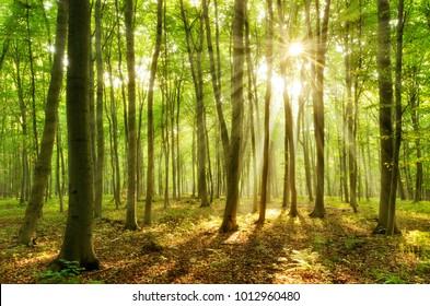 Bos van beukenbomen verlicht door zonnestralen door mist