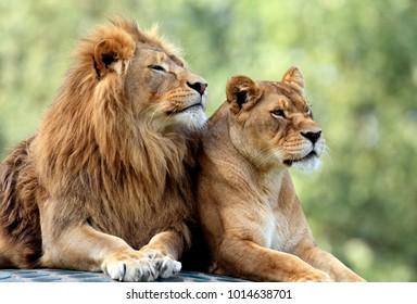 Paar erwachsene Löwen im zoologischen Garten