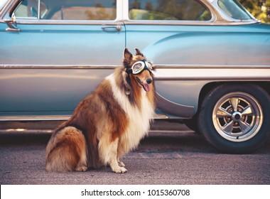 een collie poseren voor de camera voor een klassieke auto tijdens een hete zomerdag met bril op van een klassieke auto afgezwakt met een retro vintage instagram filter actie-effect app
