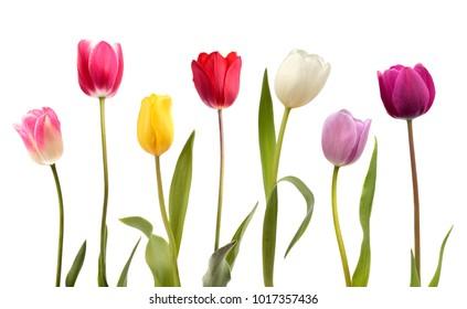 Conjunto de siete flores de tulipán de diferentes colores aislado sobre fondo blanco.