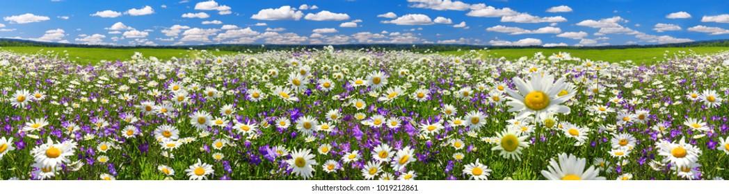 Frühlingslandschaftspanorama mit blühenden Blumen auf Wiese. weiße Kamille und lila Glockenblumen blühen auf dem Feld. Panorama-Sommeransicht der blühenden wilden Blumen in der Wiese