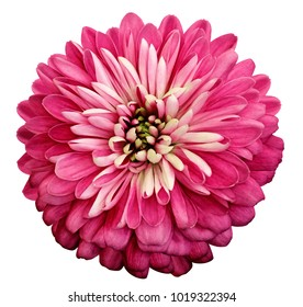菊の鮮やかなピンクの花。クリッピングパスと白い孤立した背景に。クローズアップ影なし。庭の花。自然。