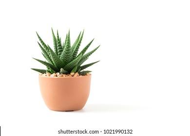 Pequeña planta en maceta suculentas o cactus aislado sobre fondo blanco por vista frontal