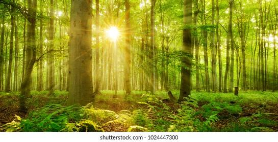 Rayos de sol brillando a través del bosque natural de hayas, helechos que cubren el suelo