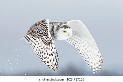 シロフクロウ(Bubo scandiacus)が離陸し、カナダのオタワの雪に覆われた野原で低い狩猟をします。