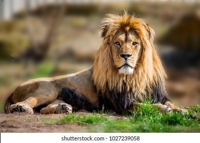 Löwe nimmt ein Sonnenbad in der Savanne