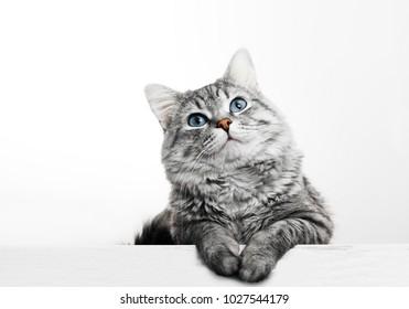 Cerrar vista de lindo gatito atigrado gris con ojos azules. Concepto de estilo de vida y mascotas. Precioso gato esponjoso sobre fondo gris.