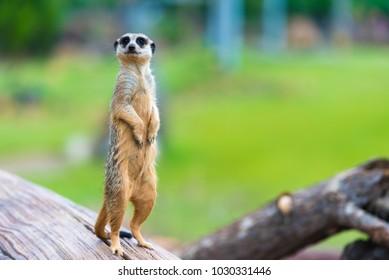 Retrato de Meerkat Suricata suricatta, animal nativo africano, pequeño carnívoro perteneciente a la familia de la mangosta