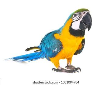 白い背景の前に青と黄色のコンゴウインコ