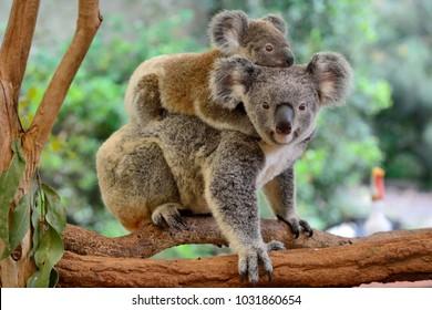 Moederkoala met baby op haar rug, op eucalyptusboom.