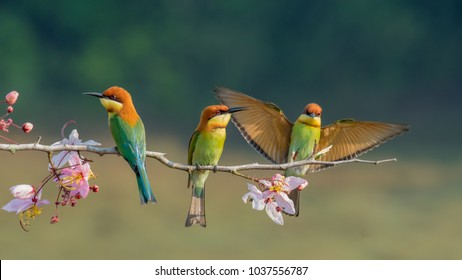 three Chestnut-headed bee-eater on the sticky wood with shallow blurry background one of them spread the wings in high definition, Bee eater, bird , aves with pink flower
