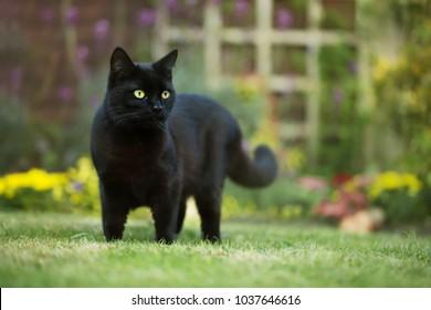 Cerca de un gato negro sobre el césped en el patio trasero, REINO UNIDO