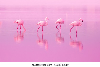 Birds Pink Flamingos Walk on the Lake at the Pink Sunset in Cyprus, Beautiful Romantic Concept with a Place for Text, Journey to the South, Love and the Pink Dream, Pink Lake