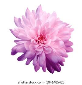 Chrysantheme rosa-violett. Blume auf lokalisiertem weißem Hintergrund mit Beschneidungspfad ohne Schatten. Nahansicht. Für das Design. Natur.