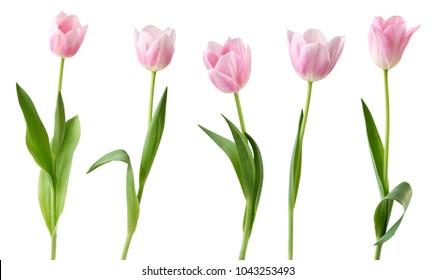Wunderbare Tulpen (Lilienfamilie, Liliaceae) lokalisiert auf weißem Hintergrund, einschließlich Beschneidungspfad. Deutschland