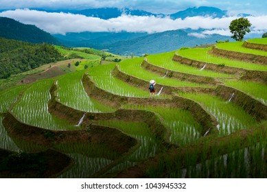 Campo de arroz en terrazas en Chiangmai, Tailandia, Pabongpiang.