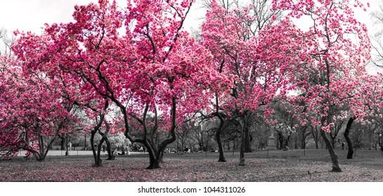 Paisaje de fantasía de bosque surrealista con árboles rosados en un paisaje urbano en blanco y negro en Central Park, Nueva York