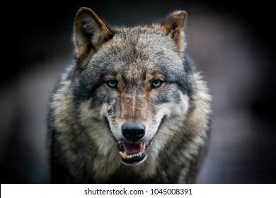 Beängstigender dunkelgrauer Wolf (Canis lupus)