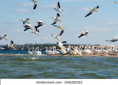 Flying and sitting on the island American white pelicans (Pelecanus erythrorhynchos). State of Florida, Gulf of Mexico, USA