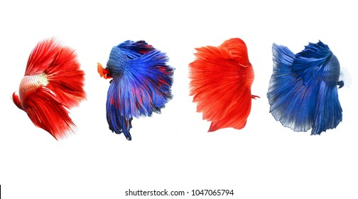 Picture of tails beautiful betta fish