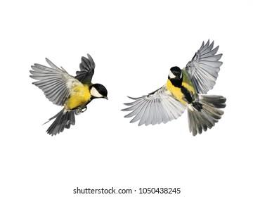 Un par de pajaritos carboneros volando hacia extender sus alas y plumas sobre fondo blanco aislado