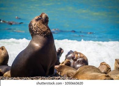 Hembra lobo marino en la costa de Argentina. Playa cerca de Caleta Olivia.