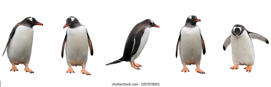 白い背景で隔離のジェンツーペンギン