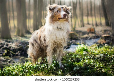 Red merle australian shepherd dog standing between snowflake in the forest at the spring.