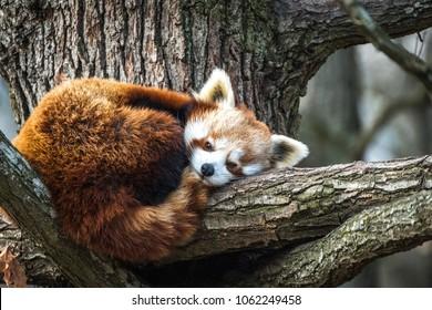 Roter Panda, Feuerfuchs oder kleiner Panda (Ailurus fulgens), der in einem Baum ruht.