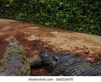 Two crocodiles lay down beside river.