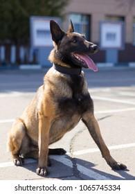 """Service dog breed """"Belgian Shepherd Dog"""" at work"""