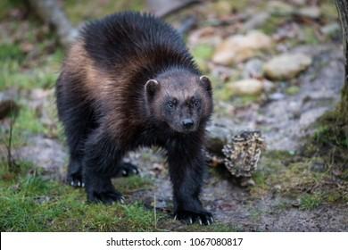 Wolverine Animal Forest
