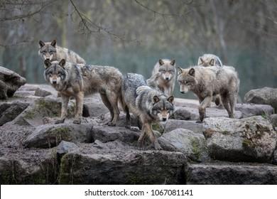Grijze Wolf dier
