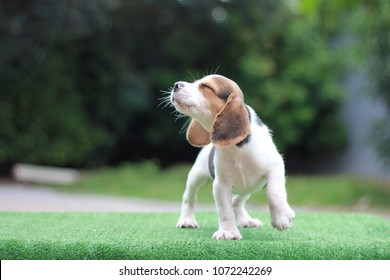 A cute tri-color beagle stand on the green grass and looking away to left side. It running in the garden which has tree as a background. It has copy space for text and advertisement.