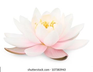 Lotusblume lokalisiert auf Weiß