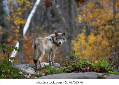 Ein einsamer Holzwolf oder grauer Wolf (Canis lupus), der auf einer felsigen Klippe steht, die auf einen regnerischen Tag im Herbst in Quebec, Kanada zurückblickt