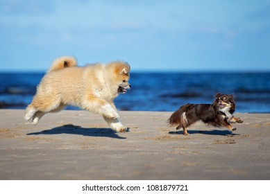 adorable akita puppy and chihuahua dog playing on the beach together