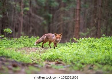 Rotfuchs im Wald (Vulpes vulpes)