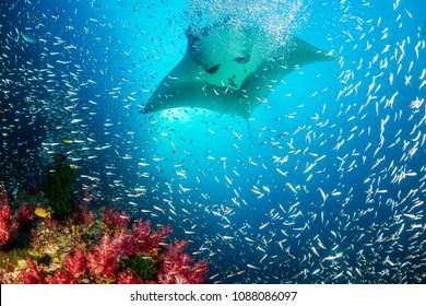 Enorme Oceanische Manta Ray die boven een kleurrijk, gezond tropisch koraalrif zwemt