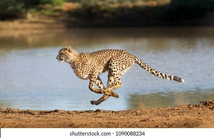 南アフリカでフルスピードで走っているチーター(Acinonyx jubatus)