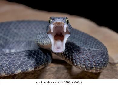 Buschotter (Atheris squamigera) mit offenem Mund und Reißzähnen