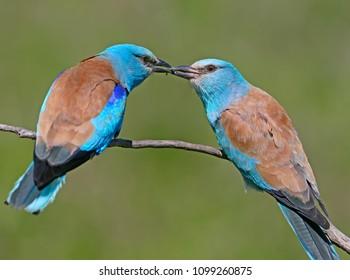 交尾期のメスのオスのヨーロッパのローラーによる儀式的な給餌。両方の鳥は、ぼやけた緑の背景の枝に座っています