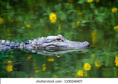 Amerikanischer Alligator, der in den Everglades mit bunter Reflexion im Wasser schwimmt
