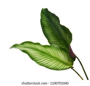Calathea ornata(Pin-stripe Calathea)の葉、白い背景で隔離された熱帯の葉、クリッピングパス
