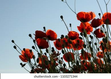 Blüten und Knospen von blühenden Blüten von Pflanzen von Rosen, Pfingstrosen, Dogrose, Kakteen, Kornblumen, Glocken, Disteln, Vergissmeinnicht, Mohnblumen rosa, rot, lila, blau-weißen Blüten im Garten