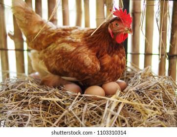 鶏小屋で卵を孵化させる/卵を孵化させる